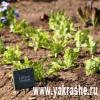Салат в саду